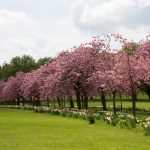 blossoming-cherry-tree-1466180492zpW (1)